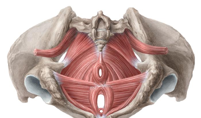 Как проверить мышцы малого таза