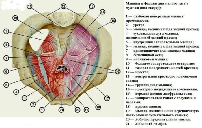 Нервы тазового дна