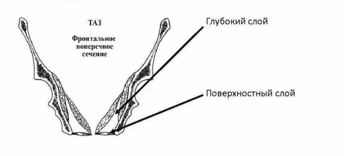 Внутренний слой мышц тазового дна