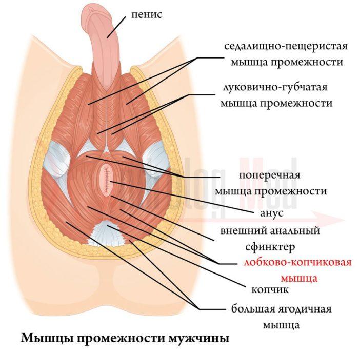 Упражнения для органов малого таза для мужчин